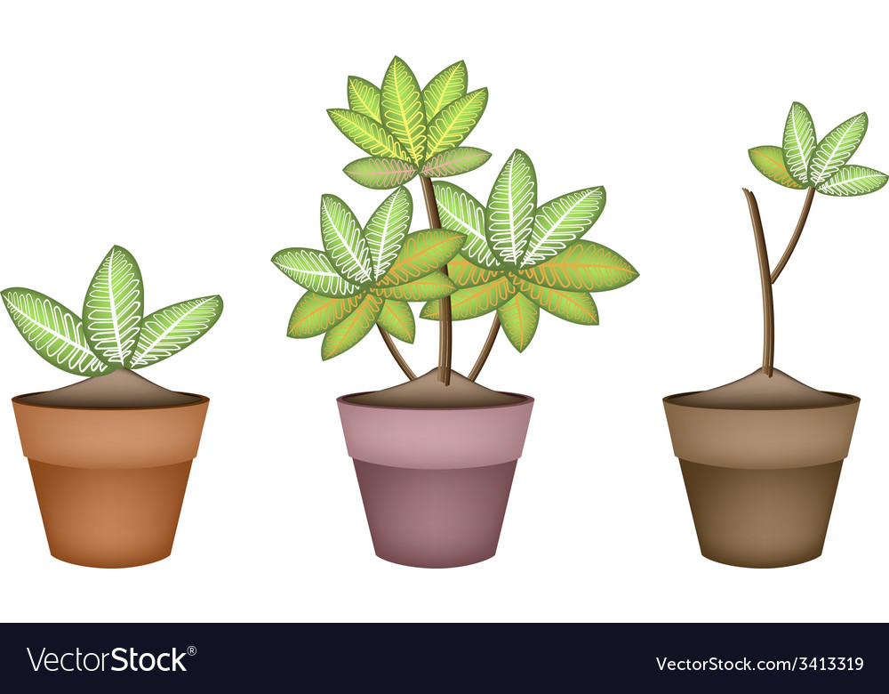 Three dieffenbachia picta marianne plant in pot vector | Price: 1 Credit (USD $1)