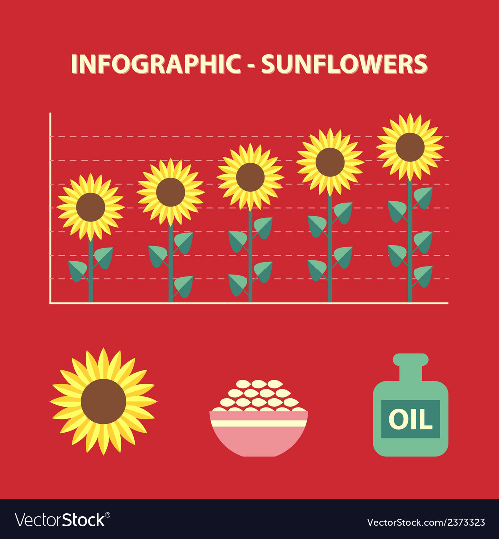 Sunflower infografic vector | Price: 1 Credit (USD $1)