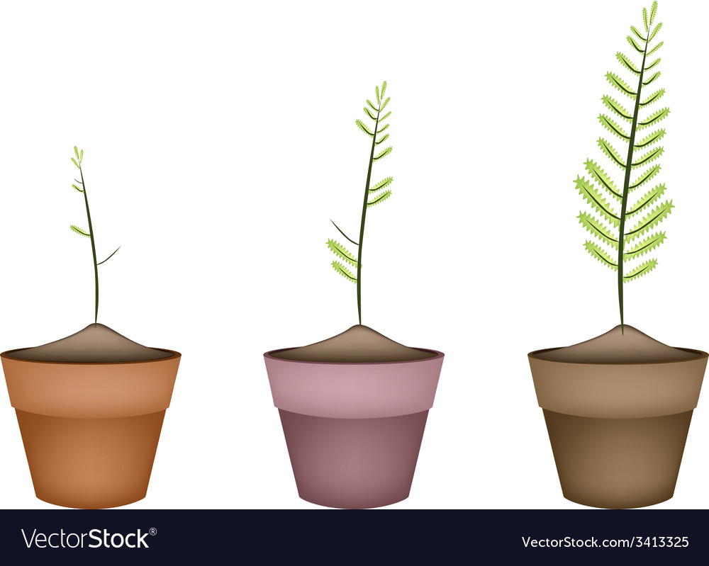 Three fresh green ferns in ceramic pots vector | Price: 1 Credit (USD $1)