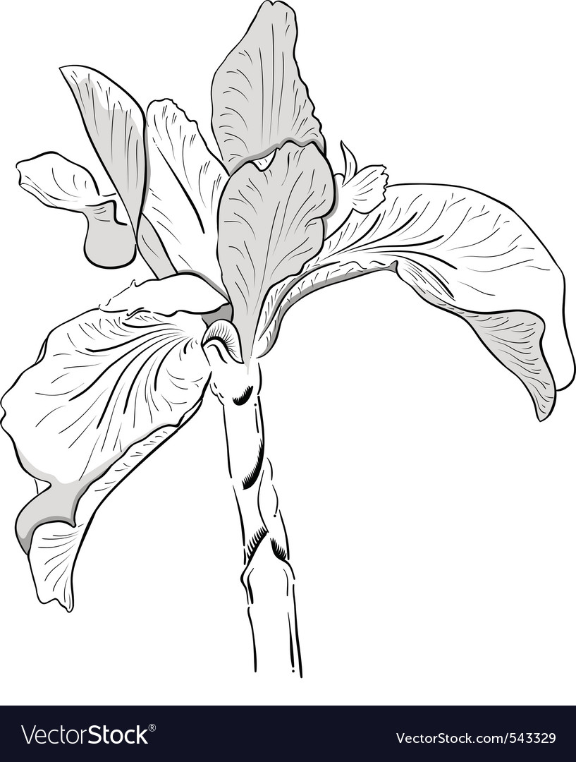 Iris drawing vector   Price: 1 Credit (USD $1)