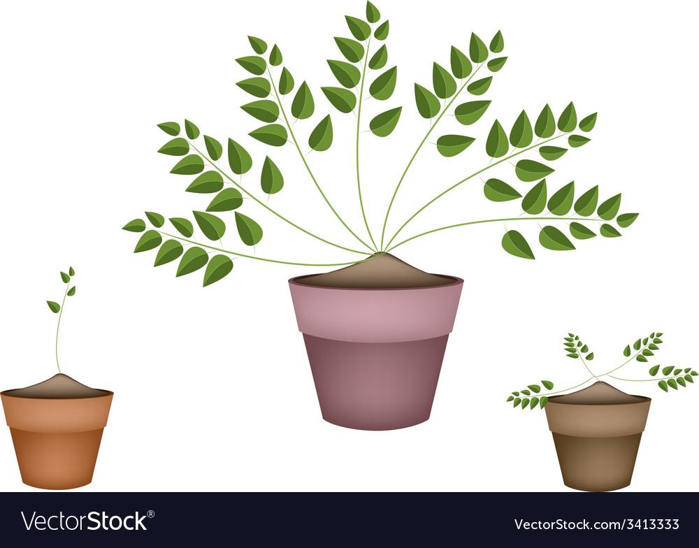 Three evergreen plants in ceramic flower pots vector | Price: 1 Credit (USD $1)