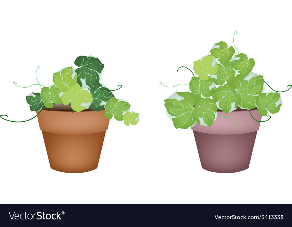 Two polyscias leaves in ceramic flower pots vector | Price: 1 Credit (USD $1)