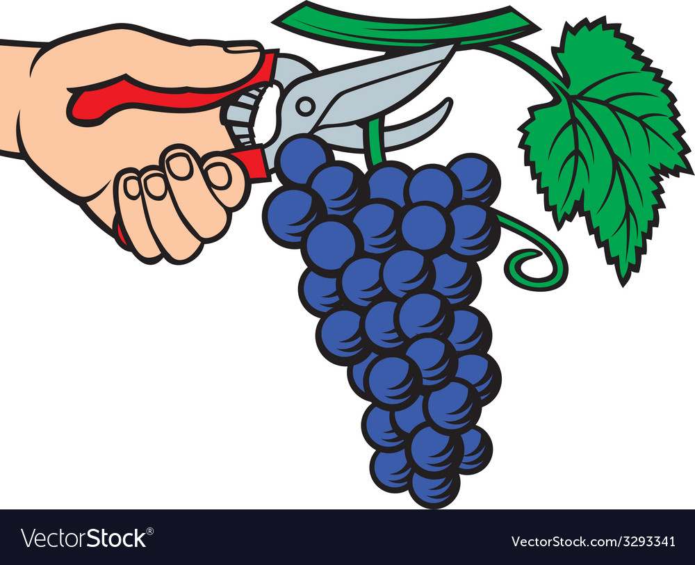 Man hands harvesting grapes vector | Price: 1 Credit (USD $1)