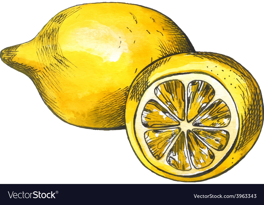 Hand drawn watercolor lemon sketch with ink vector | Price: 1 Credit (USD $1)