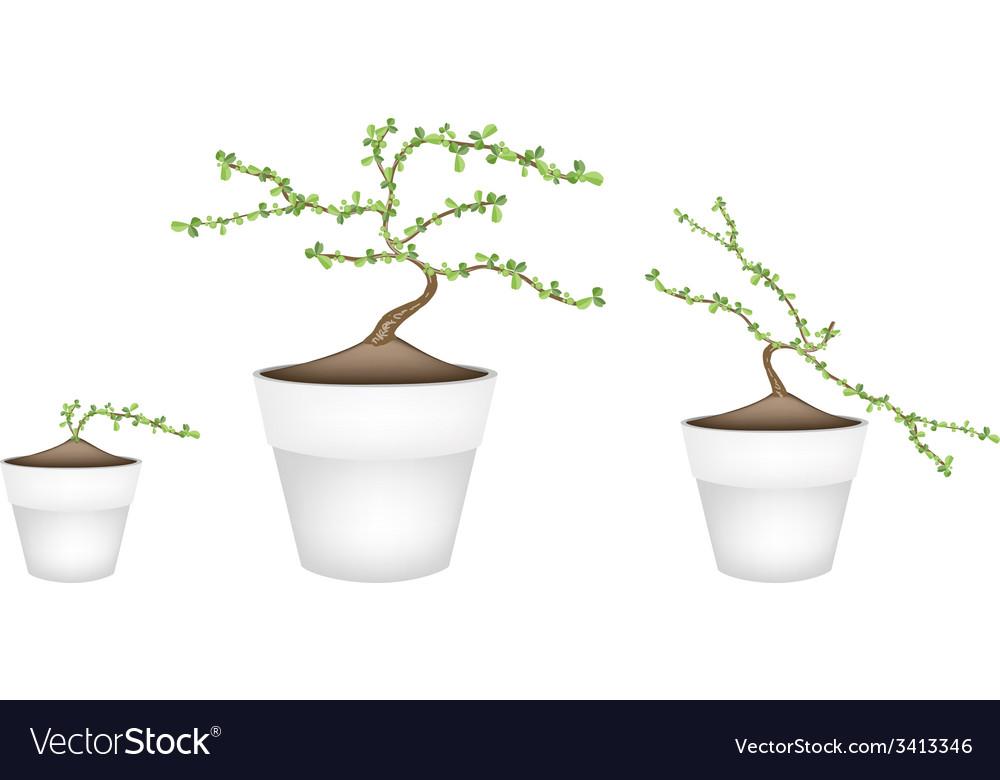 Three masam bonsai in ceramic flower pots vector | Price: 1 Credit (USD $1)