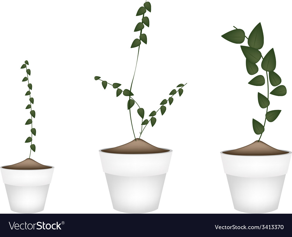 Three creeper plant in ceramic flower pots vector | Price: 1 Credit (USD $1)