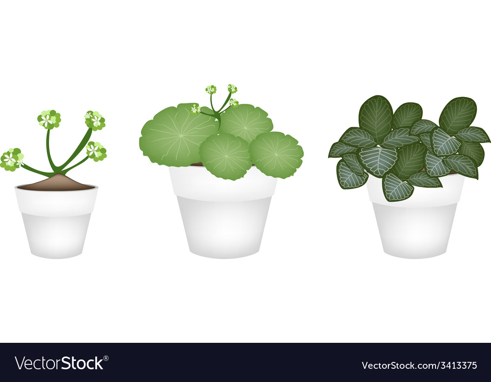 Asiatic pennywort and acanthaceae in ceramic pots vector | Price: 1 Credit (USD $1)