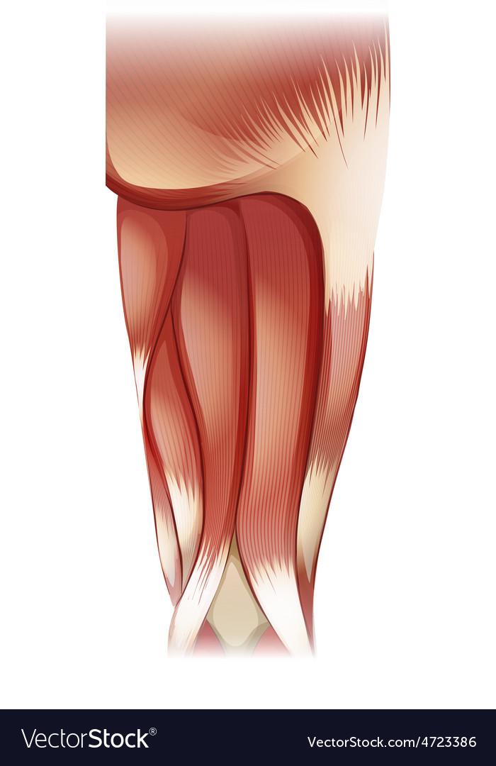 Nu leg upper muscle 07 vector | Price: 3 Credit (USD $3)