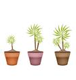 Three yucca tree and dracaena plant in ceramic pot vector