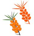 Sea buckthorn berries vector