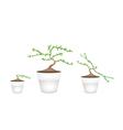 Three masam bonsai in ceramic flower pots vector