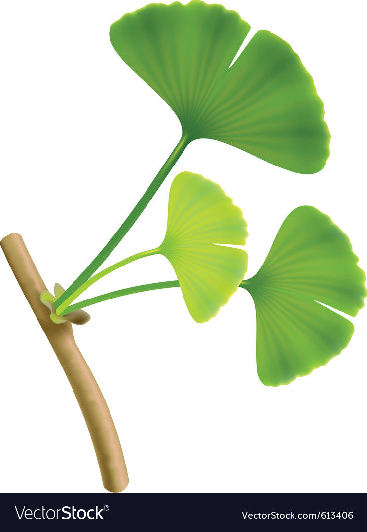 Twig with leaves of ginkgo biloba on white backgro vector | Price: 1 Credit (USD $1)