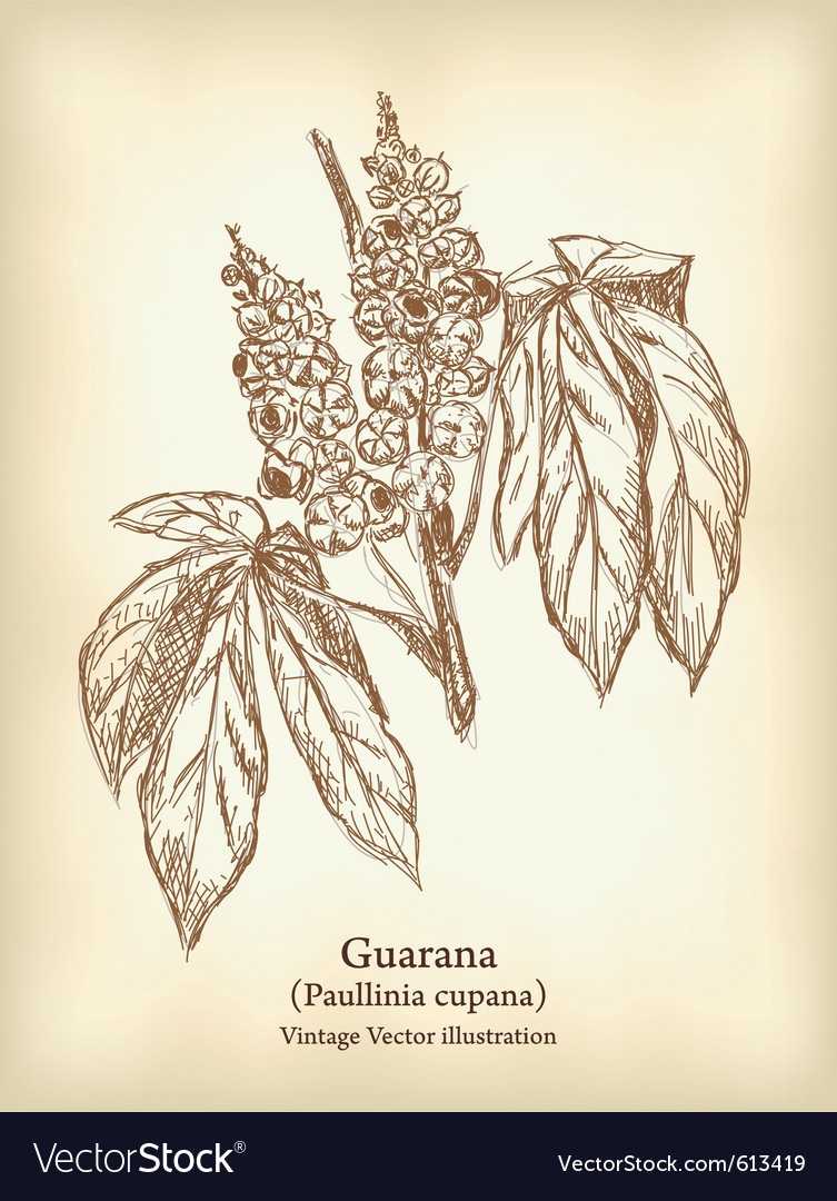 Guarana branch with fruit and leaves vintage vector | Price: 1 Credit (USD $1)