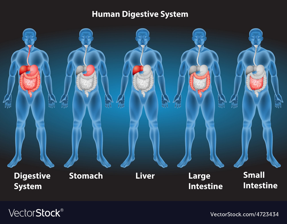 Digestive system vector | Price: 1 Credit (USD $1)