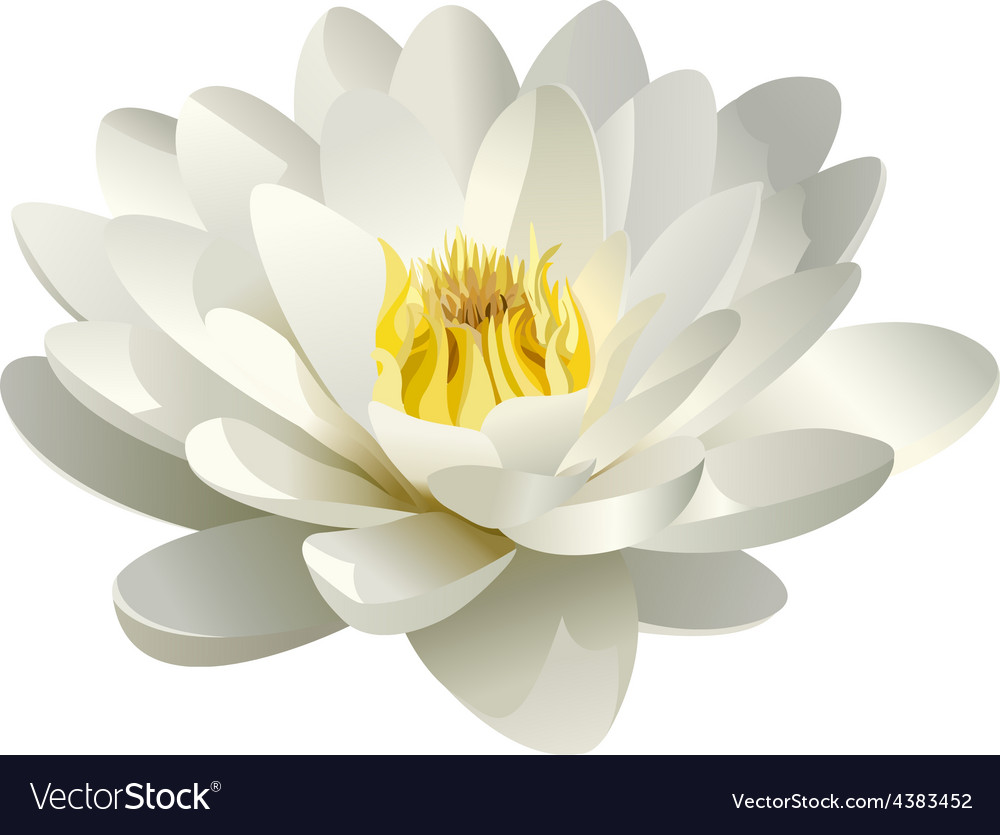 Realistic white water lily vector | Price: 1 Credit (USD $1)