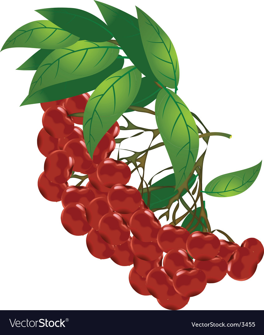 Plants and flowers red berries vector | Price: 1 Credit (USD $1)