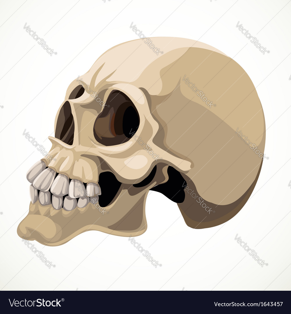 Skull isolated on a white background vector | Price: 1 Credit (USD $1)