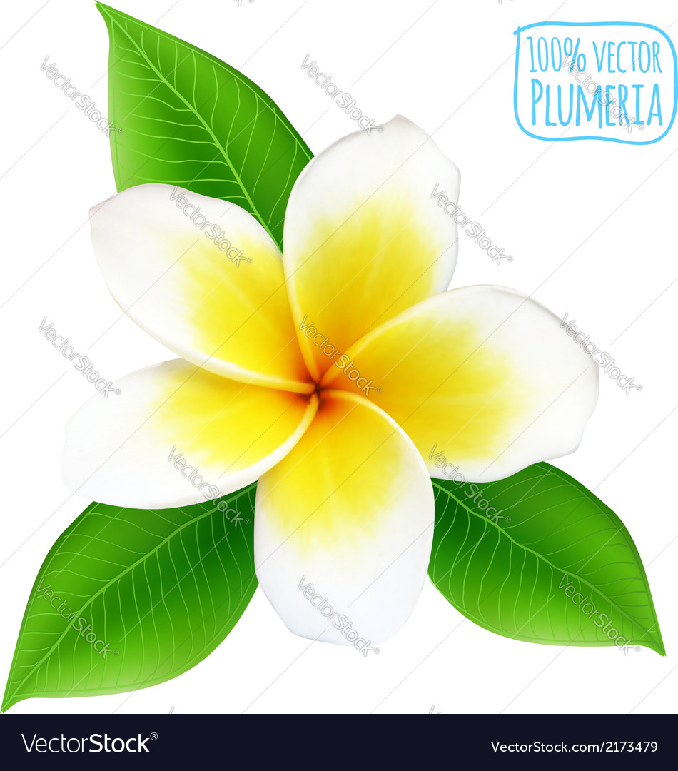Realistic isolated plumeria flower vector | Price: 1 Credit (USD $1)