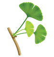 Twig with leaves of ginkgo biloba on white backgro vector
