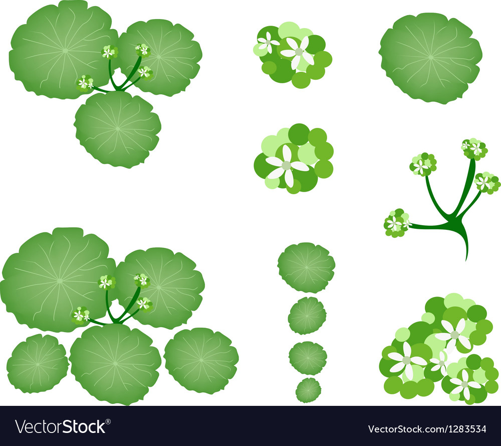 A set of asiatic pennywort on white background vector | Price: 1 Credit (USD $1)