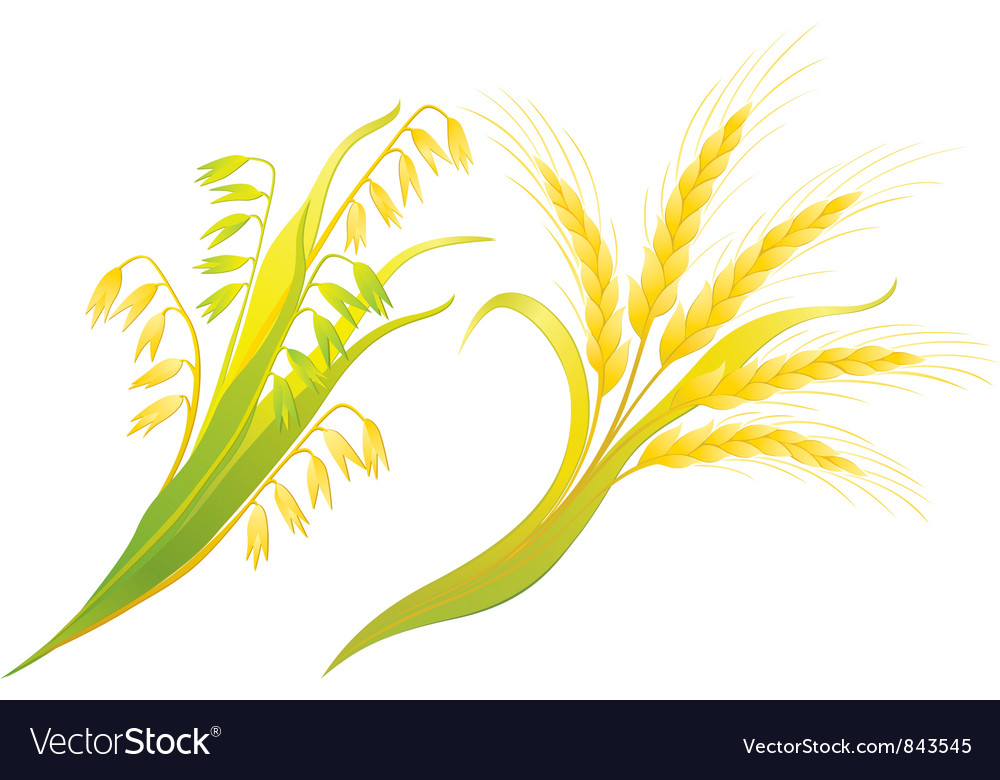 Wheat and oats ears vector | Price: 1 Credit (USD $1)