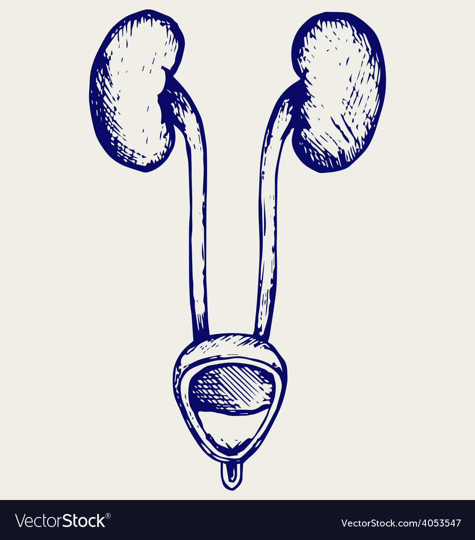 Cross section urinary bladder vector | Price: 1 Credit (USD $1)