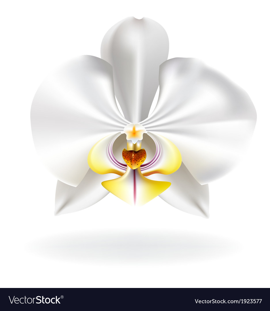 White orchid vector | Price: 1 Credit (USD $1)