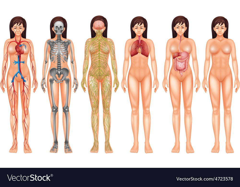 Body system vector | Price: 3 Credit (USD $3)