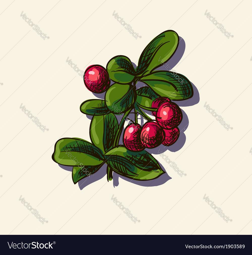 Cowberry sketch vector