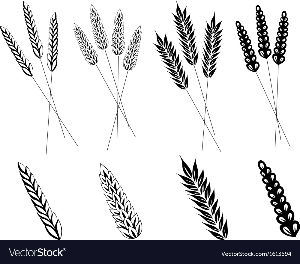 Grain corn wheat vector | Price: 1 Credit (USD $1)
