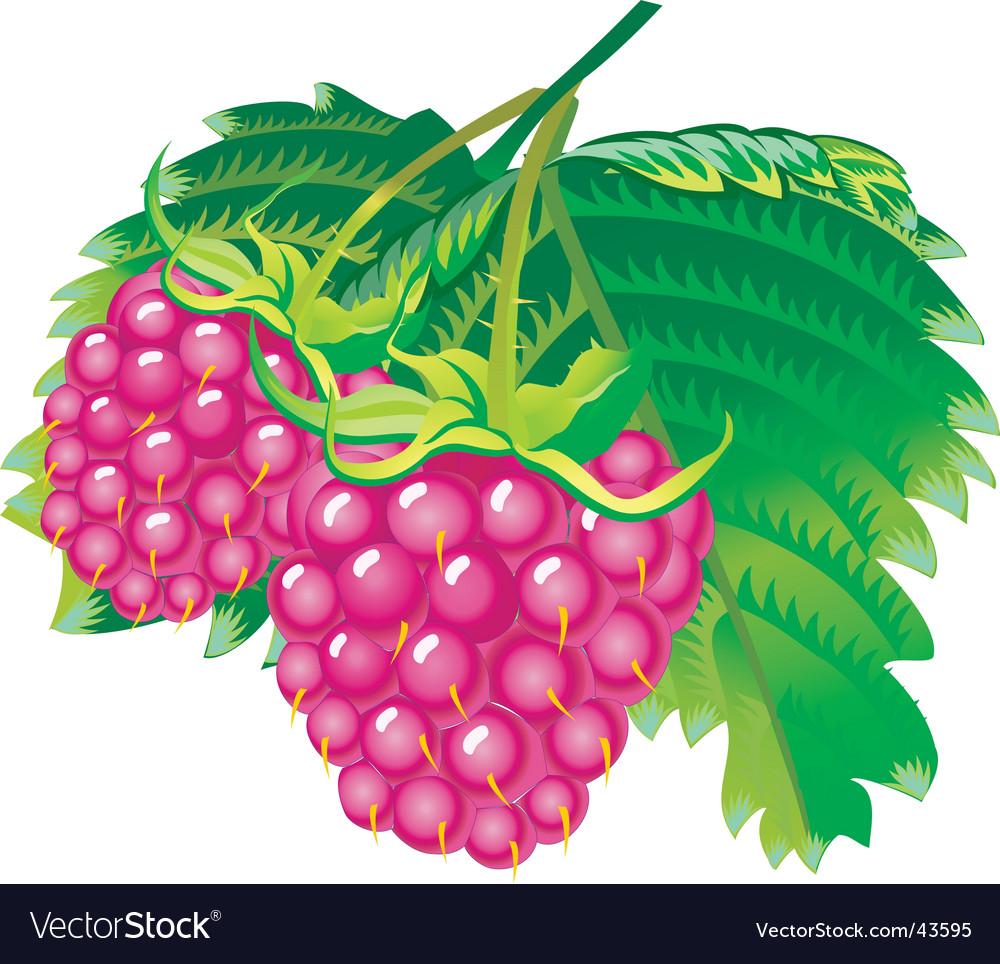Raspberries vector | Price: 1 Credit (USD $1)