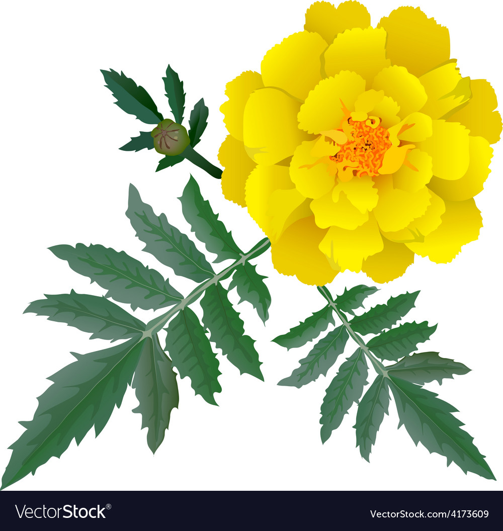 Realistic yellow marigold flower vector | Price: 3 Credit (USD $3)