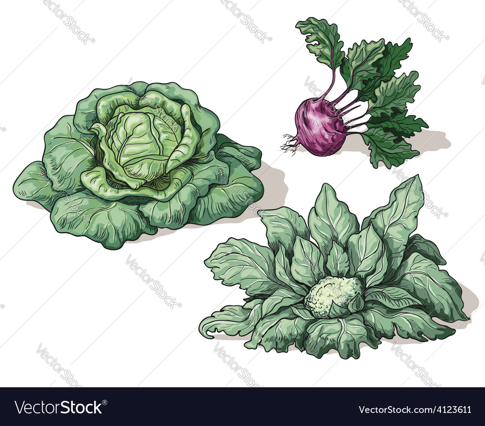 Cabbage vector | Price: 3 Credit (USD $3)