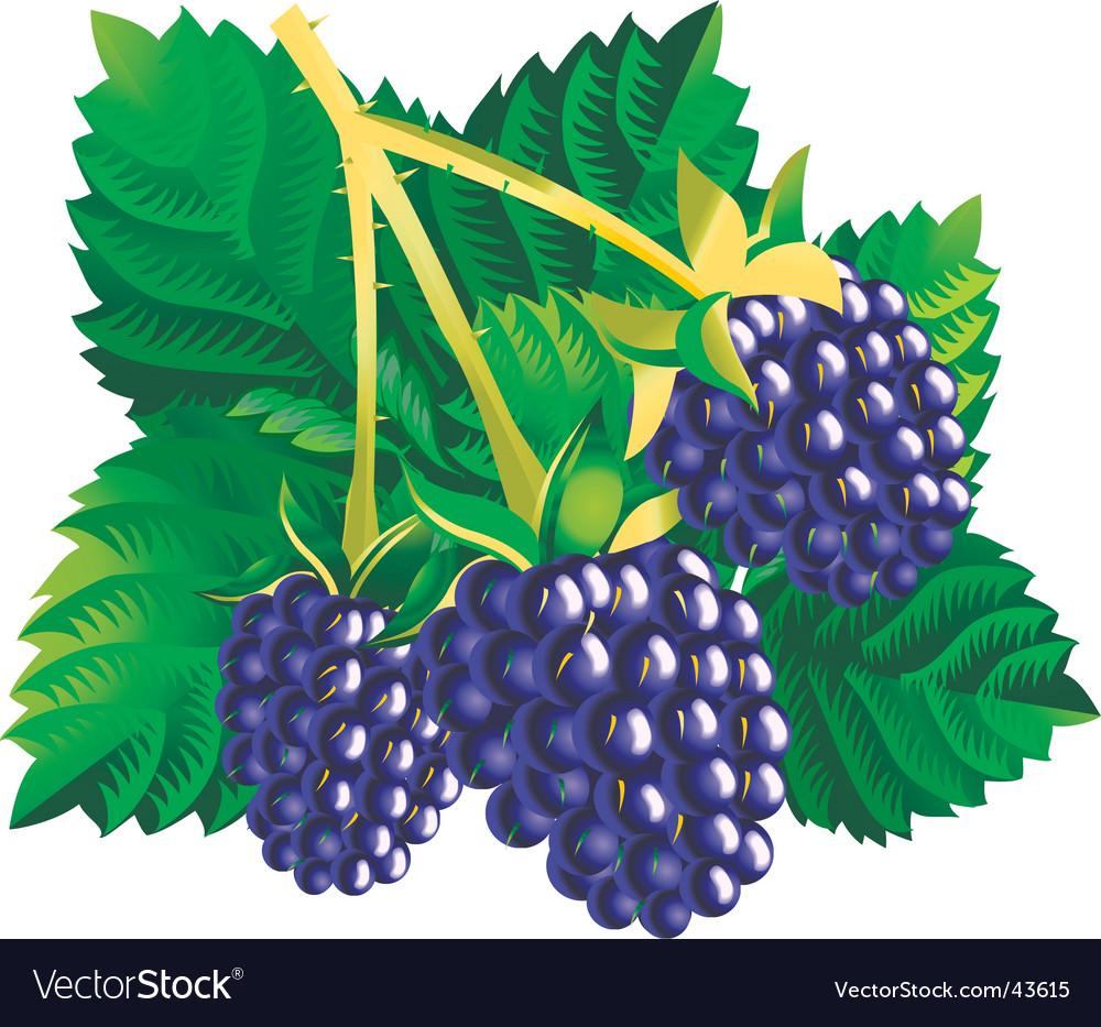 Blackberries vector | Price: 1 Credit (USD $1)