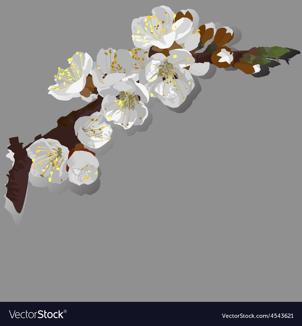 Flowering apricot vector | Price: 1 Credit (USD $1)