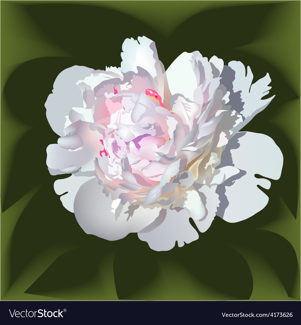 White realistic paeonia flower vector | Price: 3 Credit (USD $3)