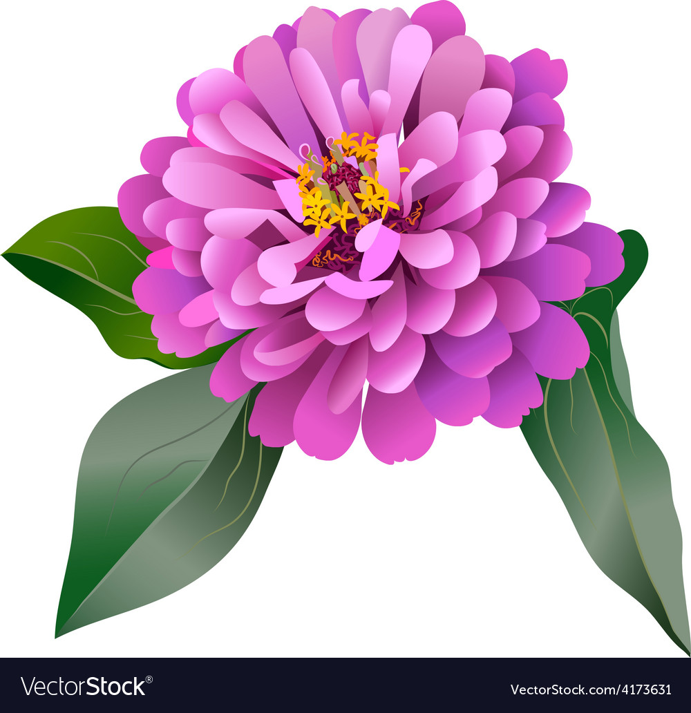 Realistic pink zinnia flower vector | Price: 3 Credit (USD $3)