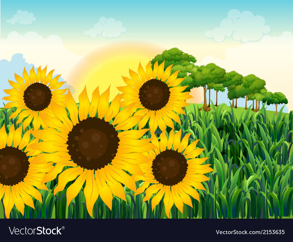 Beautiful sunflowers vector | Price: 1 Credit (USD $1)