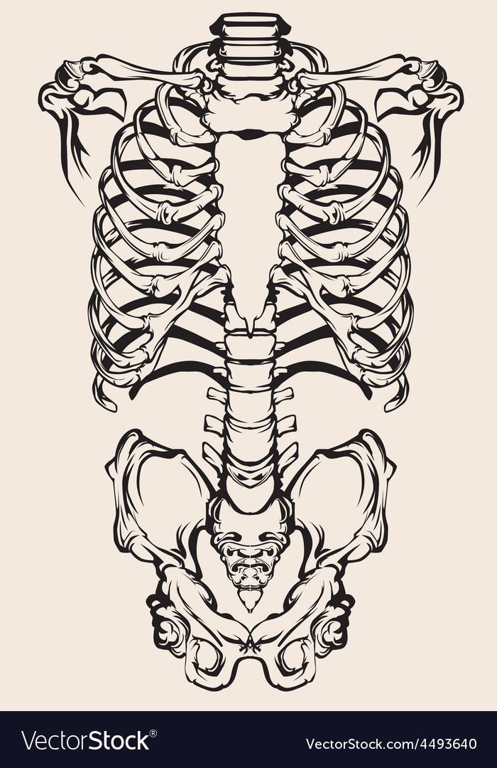 Human skeleton vector | Price: 1 Credit (USD $1)