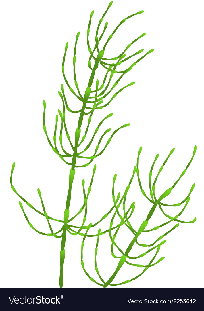 Horsetail vector | Price: 1 Credit (USD $1)