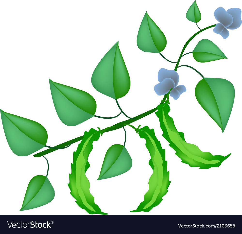 Fresh green winged beans on a plant vector | Price: 1 Credit (USD $1)