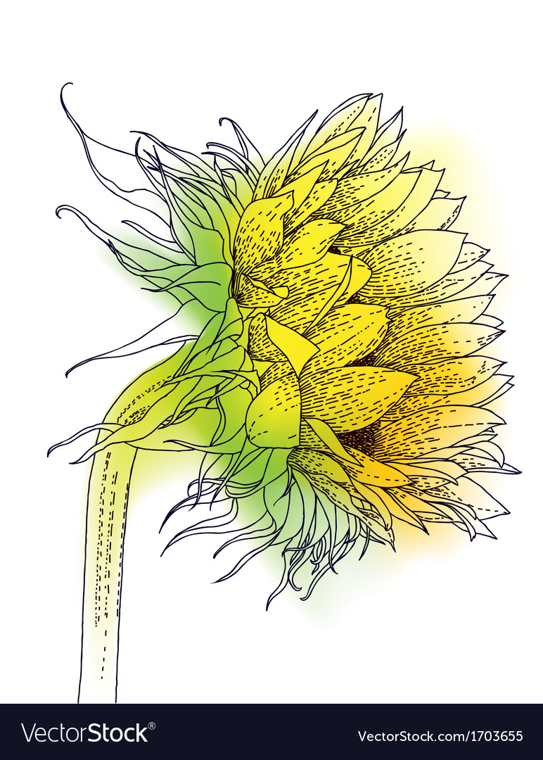 Ink and watercolor sunflower vector | Price: 1 Credit (USD $1)