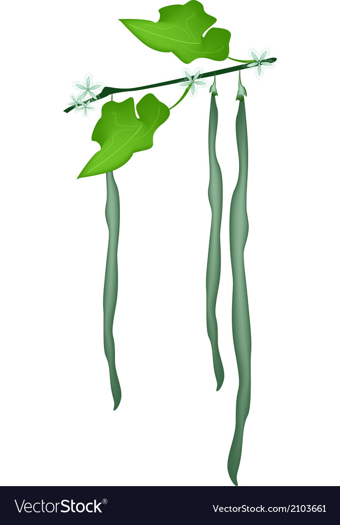 Delicious fresh snake gourds on a plant vector | Price: 1 Credit (USD $1)