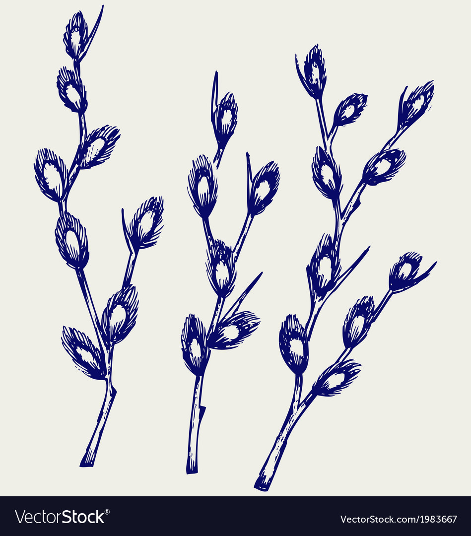 Pussy willow branches vector | Price: 1 Credit (USD $1)