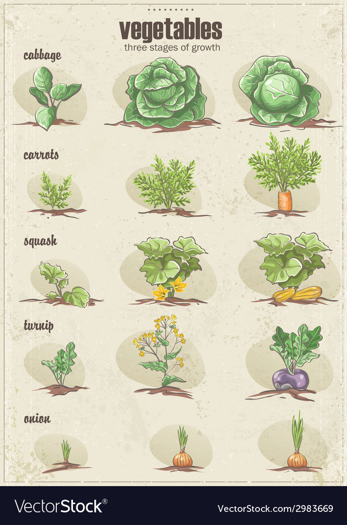 Set of vegetables with three stages of their vector | Price: 1 Credit (USD $1)