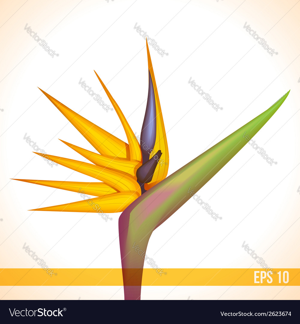 Strelitzia flower vector | Price: 1 Credit (USD $1)