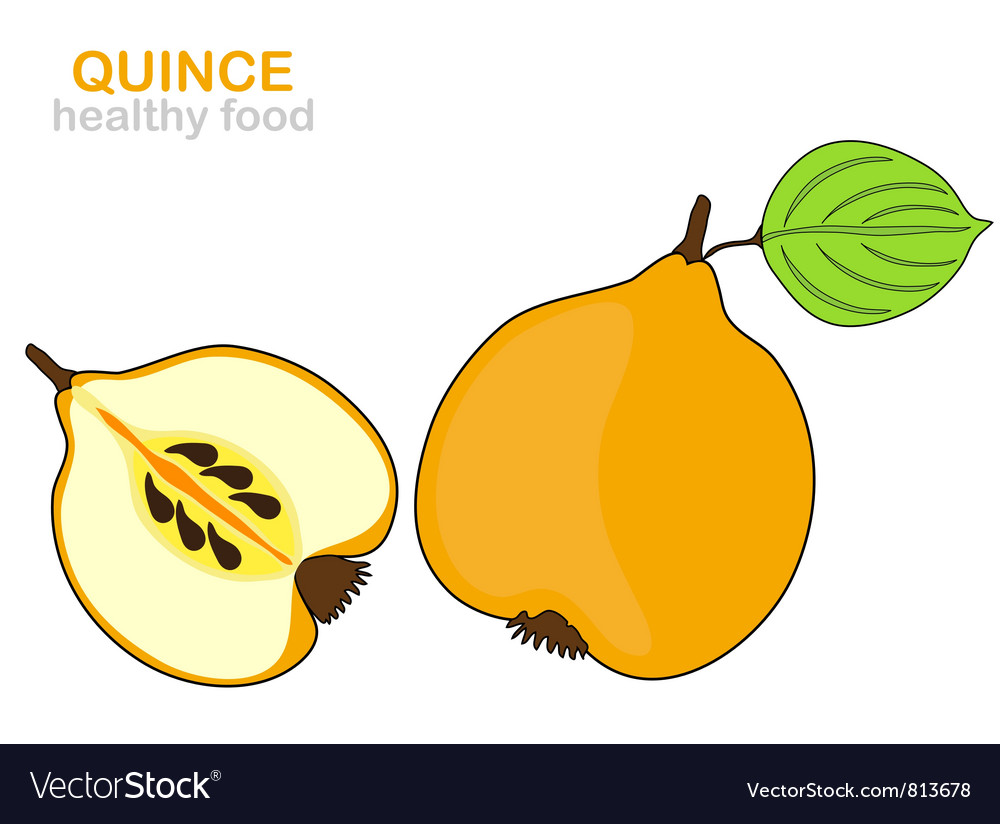 Quince fruit vector | Price: 1 Credit (USD $1)