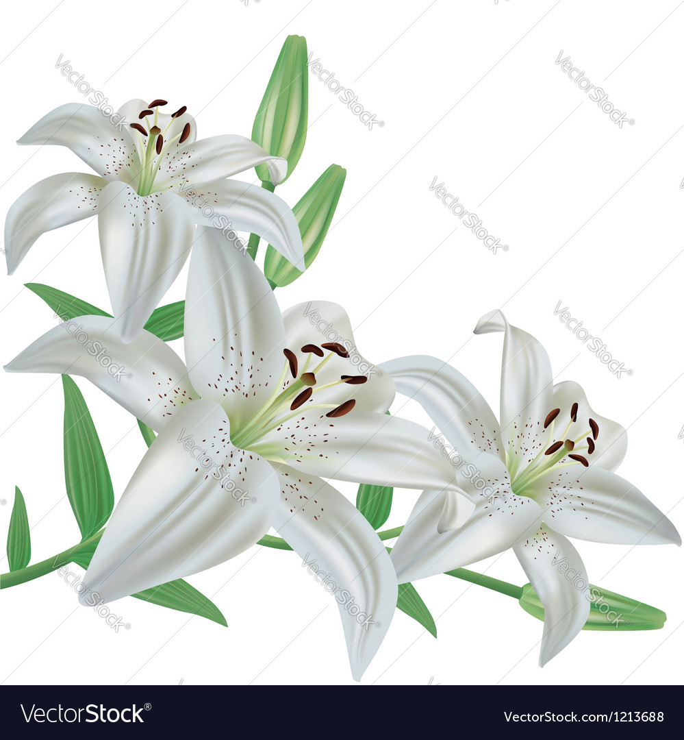 Flower lily isolated on white background vector | Price: 1 Credit (USD $1)