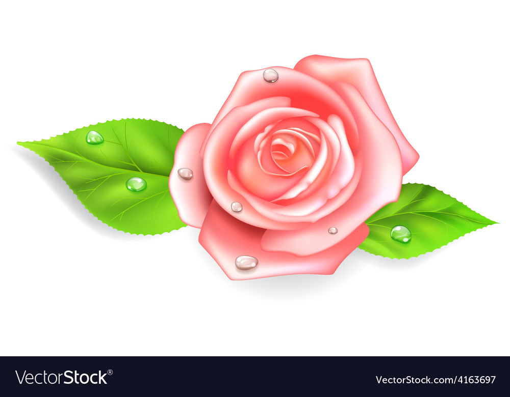Pink rose with dew drops vector | Price: 1 Credit (USD $1)