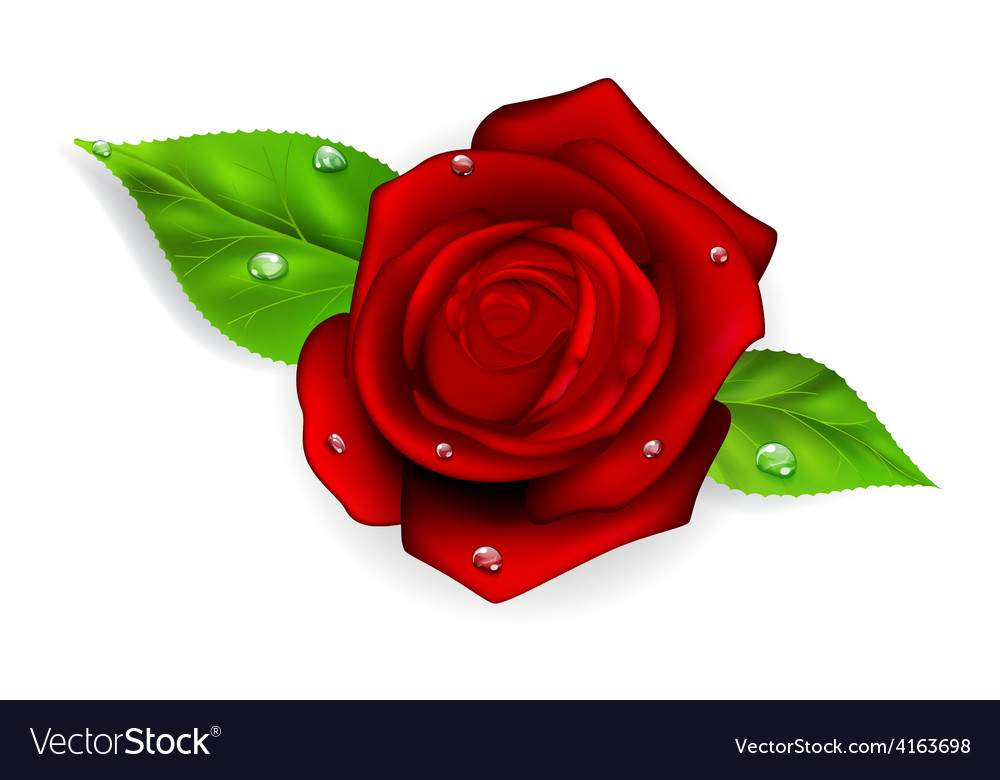 Red rose with dew drops vector | Price: 1 Credit (USD $1)